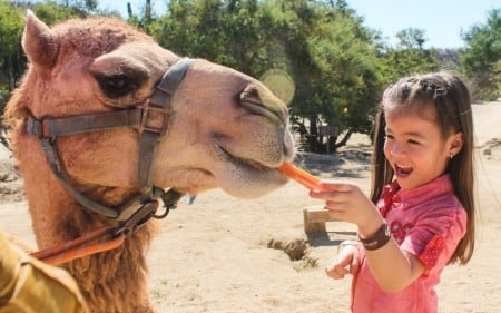 Feed the Camels at Wild Canyon in Cabo San Lucas. Camel Encounter and Camel Quest Camel Safari